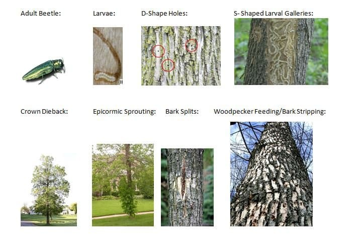 How to identify if your tree has EAB